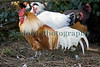 Rooster Guernsey 130112 ©RLLord 0864 smg