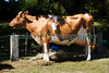 Guernsey Cow Guernsey Royal Agriculture Show 290710 ©RLLord 9777 smg
