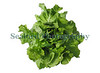 Guernsey organic  butterhead lettuce from Guernsey Organic Growers in Guernsey, Channel Islands.<br /> File No. 190308 3809<br /> ©RLLord<br /> fishinfo@guernsey.net