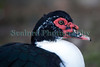 Muscovy duck Cairina moschata Guernsey 130112 ©RLLord 0853 smg