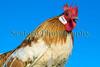 Dutch bantam Roger Burton Guernsey 150112 ©RLLord 1048 smg