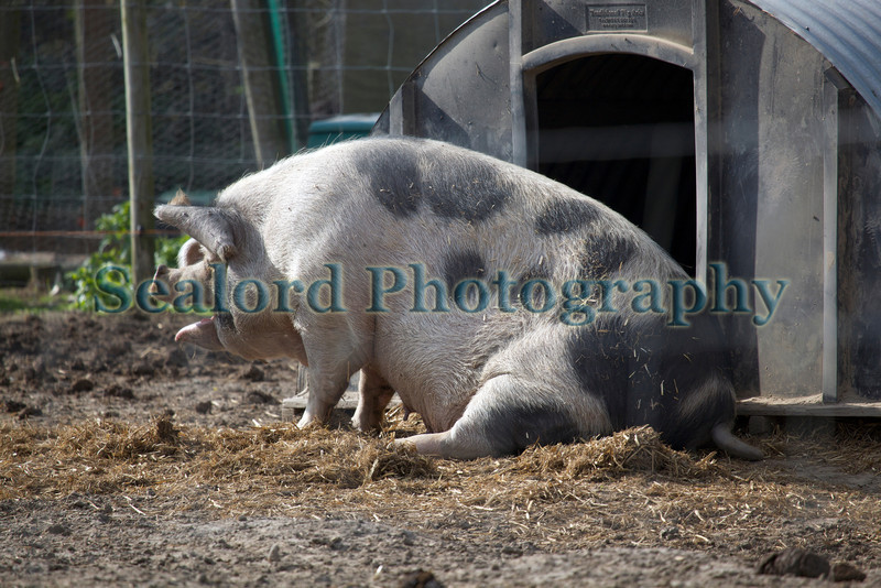 Porky's sow 221011 ©RLLord 8035 smg
