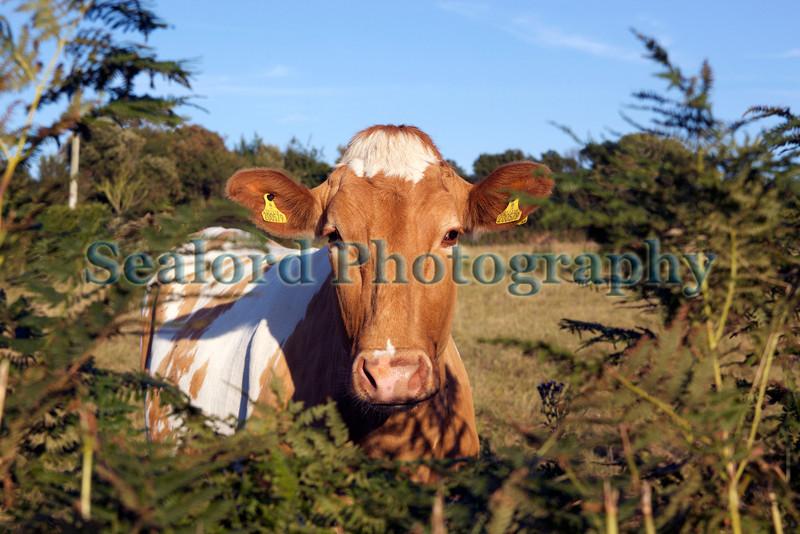 Guernsey cow bracken 260711 ©RLLord 1652 smg