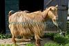 Chris Tomlins golden guernsey goat 250409 ©RLLord 3292 smg