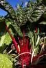 Saumarez park Victorian walled kitchen garden 310810 ©RLLord 1683 smg