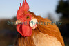Dutch bantam Roger Burton 150112 ©RLLord 1072 smg