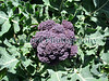 Guernsey organics purple sprouting broccoli 190308 3767 smg