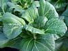 Guernsey organics pak choi 190308 3747 smg2
