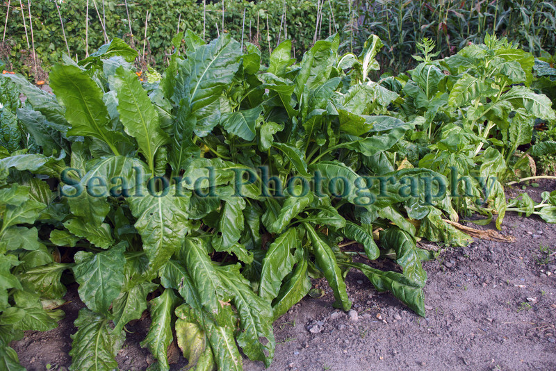 Victorian walled kitchen garden spinach 250910 ©RLLord 248 smg