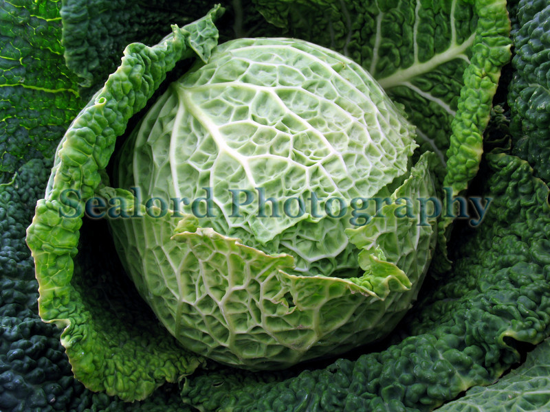 Savoy cabbage Guernsey Organic Growers 250308 3917 smg