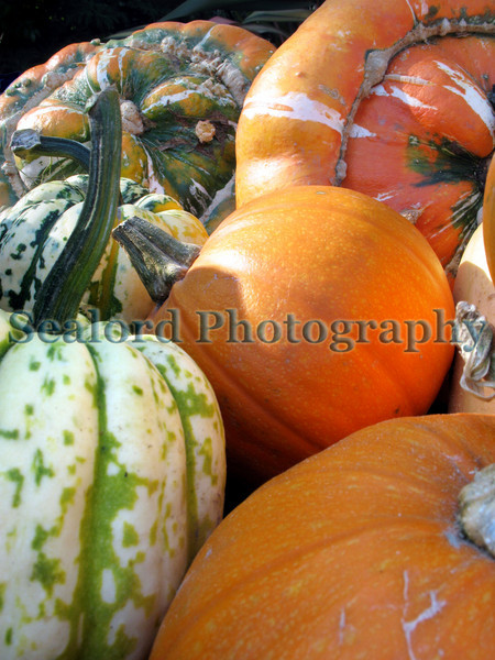 Pumpkins for sale at the Sausmarez Manor Farmers' Market in Guernsey, Channel Islands on the 20th October 2007.<br /> File No. 201007 441 <br /> ©RLLord<br /> fishinfo@guernsey.net