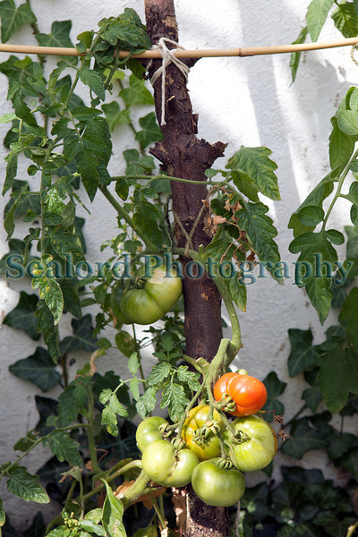 The Edible Bus Stop tomatoes 220812 ©RLLord 2062 smg