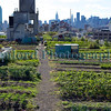 Brooklyn Grange Farm New York 290812 ©RLLord 2946 smg