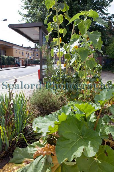 The Edible Bus Stop rhubarb 220812 ©RLLord 2073 smg