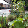 The Edible Bus Stop rhubarb 220812 ©RLLord 2073 smg