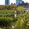 Brooklyn Grange Farm New York 290812 ©RLLord 2998 smg