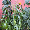 The Edible Bus Stop maize sunflowers 220812 ©RLLord 2119 smg