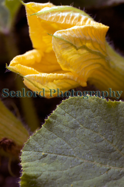 The Edible Bus Stop courgette flower 220812 ©RLLord 2181 smg