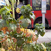 The Edible Bus Stop blackcurrent bus 322 220812 ©RLLord 2186 smg