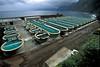 gilthead sea bream facility north coast Madeira 33-516 smg