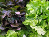 lettuce G-CAN stall Farmers' Market 181008 2608 RLLord smg