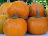 GCAN stall Sausmarez Manor farmers' market pumpkins 111008 2327 RLLord smg