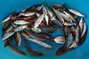 Siracusa fish market small fish 010410 ©RLLord 1183 smg