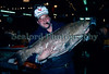 Danny Feig of Beyer-Lightning Fish Co. at the time holds a gutted black grouper, Mycteroperca bonaci, imported from Venezuela.  The grouper weighed 41.2 lbs. gutted and had a total length of 42 inches.  Photographed on the 11 November 1991.<br /> Copyright©RLLord<br /> File No. 111191 18<br /> fishinfo@guernsey.net