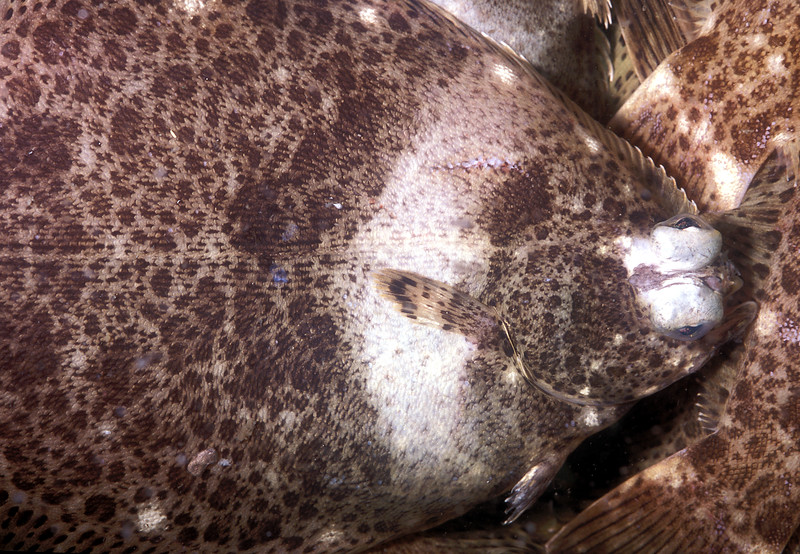 live frog flounder, Pleuronichthys cornutus, called meita-garei in Japanese, for sale in the Kyoto wholesale fish market, Japan<br /> File No. 28-555<br /> ©RLLord<br /> fishinfo@guernsey.net