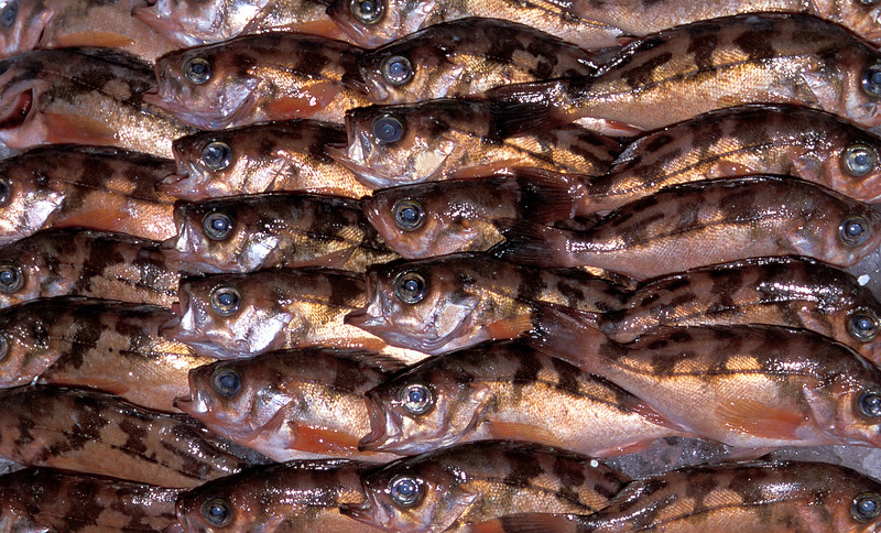 Goldeneye rockfish, Sebastes thompsoni, called usumebaru in Japanese neatly packaged in a styrofoam box and on display at the Kyoto wholesale fish market, Japan.<br /> File No. 4-554<br /> ©RLLord<br /> fishinfo@guernsey.net