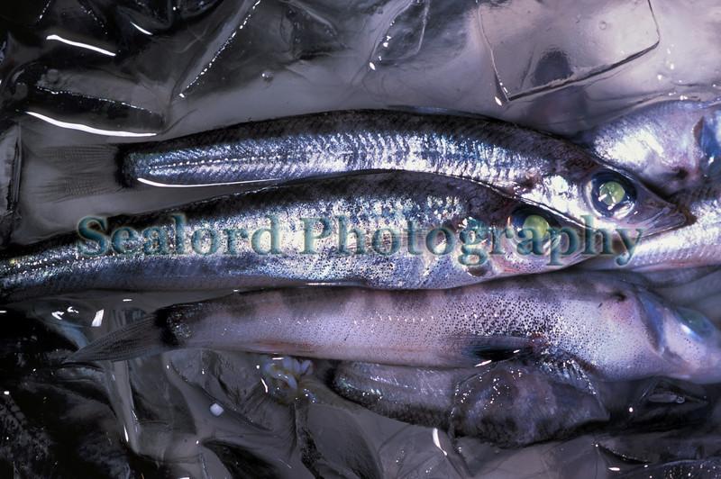 Tsukiji green eyes Chlorophthalmus sp 31-544 smg
