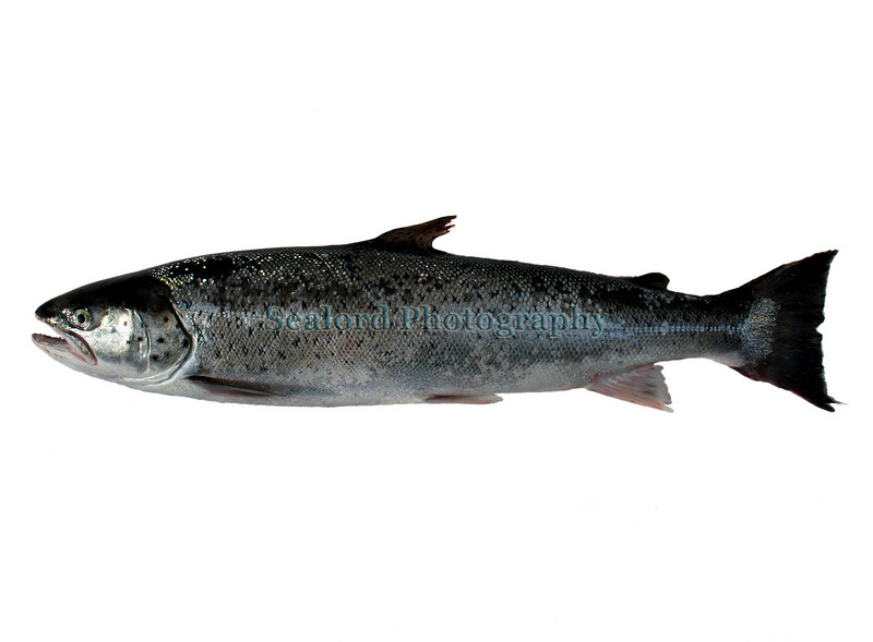 Salmo trutta wh boat caught Gu 280607 888 smg