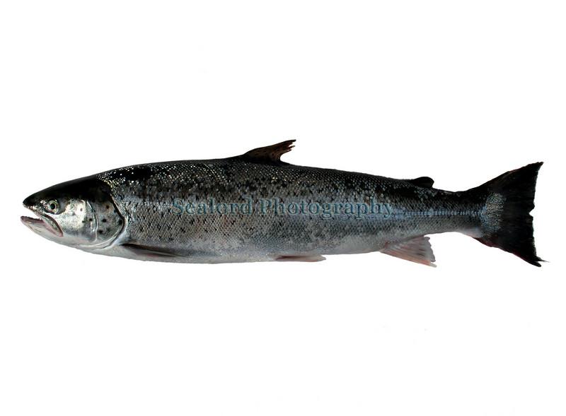 Salmo trutta wh boat caught Gu 280607 888 smg
