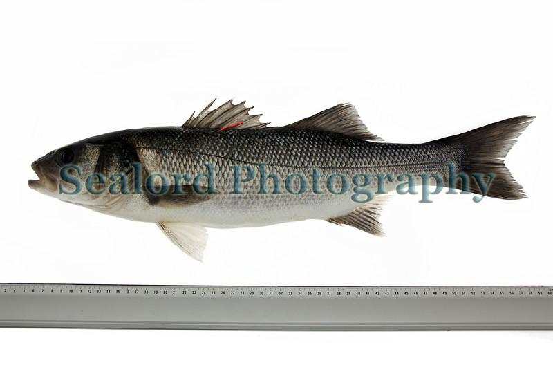 European bass, Dicentrarchus labrax, caught in Guernsey