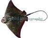 On 4 May 1999, a 2779 gram (2.779 kg.) female Eagle Ray, Myliobatis aquila, was caught by trawl in 15 metres of water at about 2000 hours on Schole bank, off Guernsey, Channel Islands, English Channel.  The bank is composed of broken shell and sand.  <br /> <br /> The Eagle Ray was caught with blonde rays, brill and a few lesser spotted dogfish.  It had a wing span of 585 mm and a total length of 956 mm. The body length (tip of snout to origin of tail) was 330 mm.  <br /> <br /> The stomach and spiral valve contained two small squat lobsters, one hermit crab, and pieces of scallop shell.  The liver weighed 150 grams and the ray weighed 2384 grams gutted.<br /> <br /> File No.  050599 10-298<br /> ©RLLord<br /> fishinfo@guernsey.net