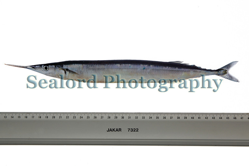 Atlantic saury, Scomberesox saurus, from Guernsey waters