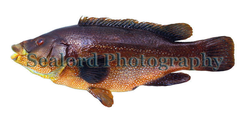 A ballan wrasse, Labrus bergylta, from Guernsey waters.<br /> File No. 2-36<br /> ©RLLord<br /> fishinfo@guernsey.net