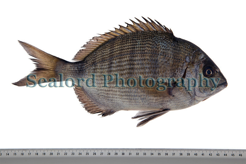 white bream Diplodus sargus Sea Fresh Guernsey 110413 ©RLLord 6842 smg