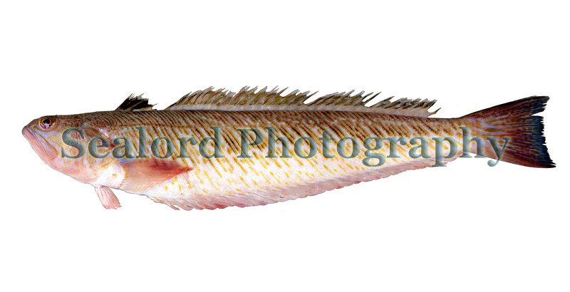 This greater weeverfish, Trachinus draco, was caught in a trawl on one of the Casquet banks to the west of Alderney in the Bailiwick of Guernsey.<br /> File No. 16-130<br /> ©RLLord<br /> fishinfo@guernsey.net