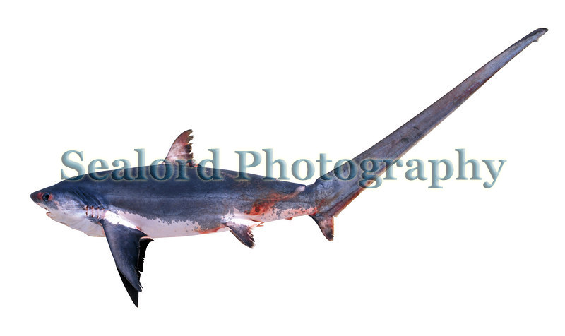 A small thresher shark, Alopias vulpinus, captured in gill nets set for red mullet (mullidae) off the south coast of Guernsey.<br /> File No. 33-349<br /> ©RLLord<br /> fishinfo@guernsey.net