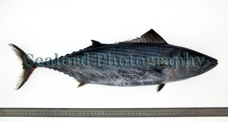 This Atlantic bonito, Sarda sarda, was captured by Peter Merrien while netting for bass, Dicentrarchus labrax, near Hanois Lighthouse off Guernsey's south-west coast on 21 November 2010.  The Atlantic bonito had a total length of 53.7 cm, a fork length of 50.8 cm and a total weight of 1716 grams.  The fish was given to RL and photographed on 29 November 2010.<br /> ©RLLord <br /> File No. 211110 3153<br /> fishinfo@guernsey.net