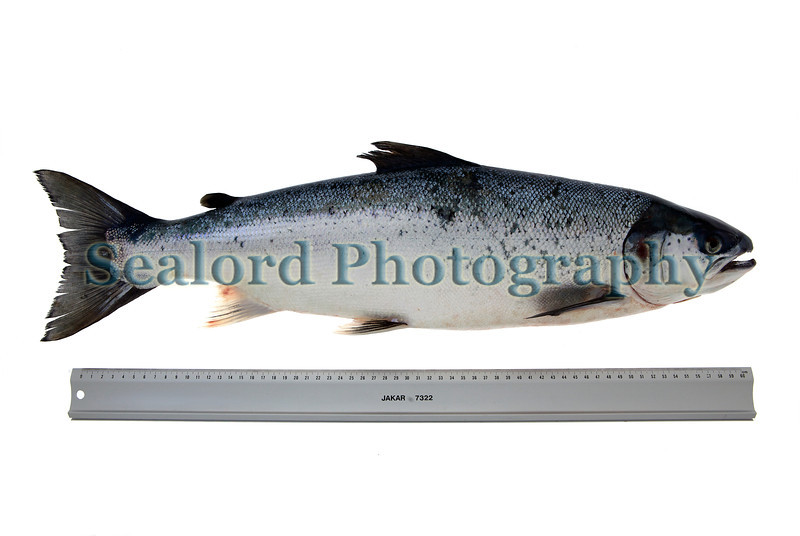 Atlantic salmon, Salmo salar, caught by Philip Lomax over Godine bank near Sark, Bailiwick of Guernsey at midday on 7 April 2012. The fish weighed 2799 grams and had a standard length of 530 mm and a length to the distal margin of the middle of the caudal fin of 596 mm.  The salmon was captured using a live sand eel for bait. It had two copepod parasites by the right eye and one on the right flank of the body.  The salmon had 19 gill rakers on the first gill arch on the right side.<br /> <br /> File No. 070412 0391<br /> ©RLLord<br /> fishinfo@guernsey.net