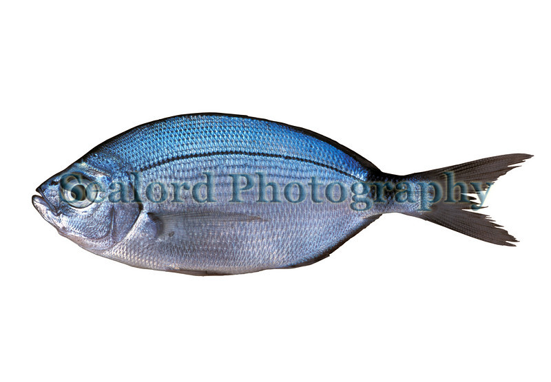 Saddled bream, Oblada melanura, caught off Madeira