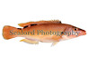 cuckoo wrasse Labrus mixtus female 25-14 smg