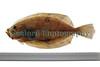 Megrim Lepidorhombus whiffiagonis Godine Mick Le Sauvage 150411 ©RLLord 6223 smg