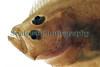 megrim Lepidorhombus whiffiagonis head Godine bank 150411 ©RLLord 6232 smg