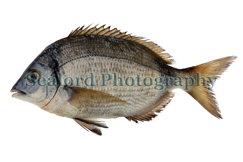 two-banded bream Diplodus vulgaris 140611 ©RLLord 8588 smg