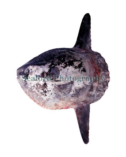 ocean sunfish Mola mola 23-406 smg