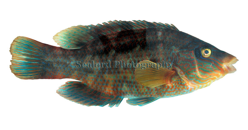 This corkwing wrasse, Crenilabrus melops, was captured in Guernsey waters and photographed on the 27 October 1997.<br /> File No.  271097 15-87<br /> ©RLLord<br /> fishinfo@guernsey.net
