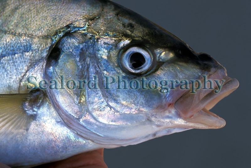 Guelly jack or white trevally, Pseudocaranx dentex, caught off Ribeira Brava, Madeira